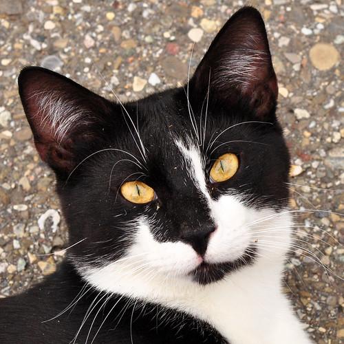 Katze schwarz-weiß