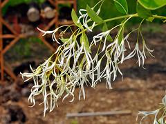 Fringetree, Chionanthus virginicus