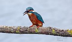 Holderkingfisher