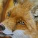 Fuchs in Pastellkreide von Katja Sauer - Fox in soft pastels by Katja Sauer by katjasauer11