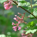 Ribes sanguineum 'Pink Flowering currant'