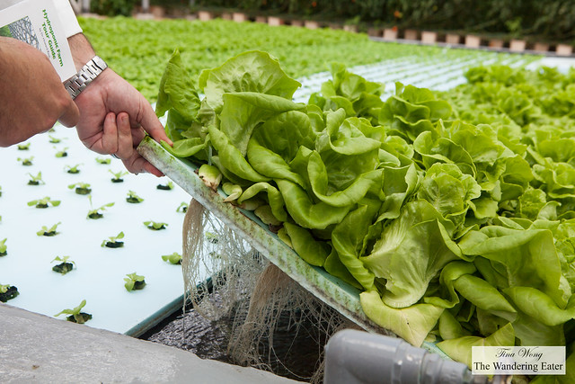 Hydroponically grown butter lettuce