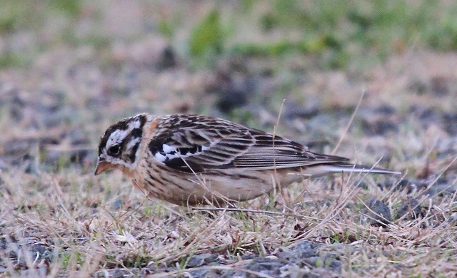 Smith's Longspur (Calcarius pictus)