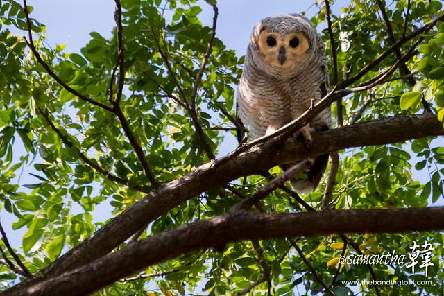 Spotted Wood Owl (Strix seloputo seloputo)