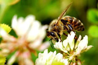 Honey Bee hard at work