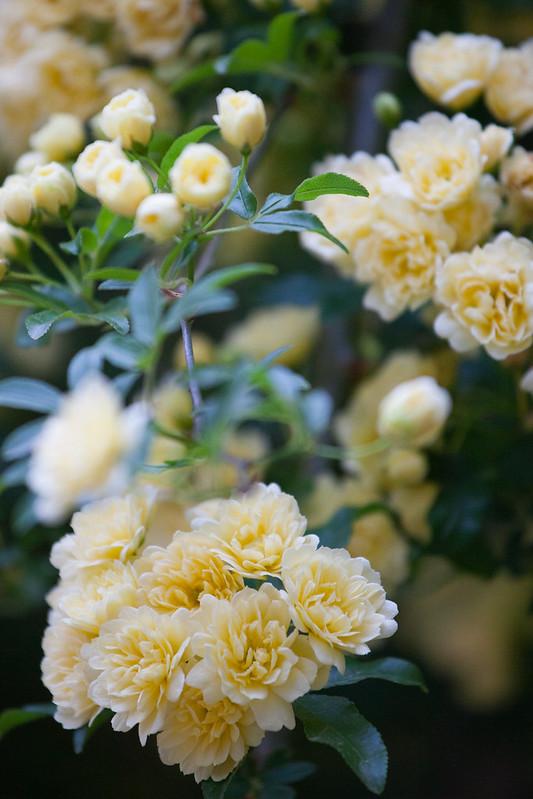 民宿媽媽說這是玫瑰