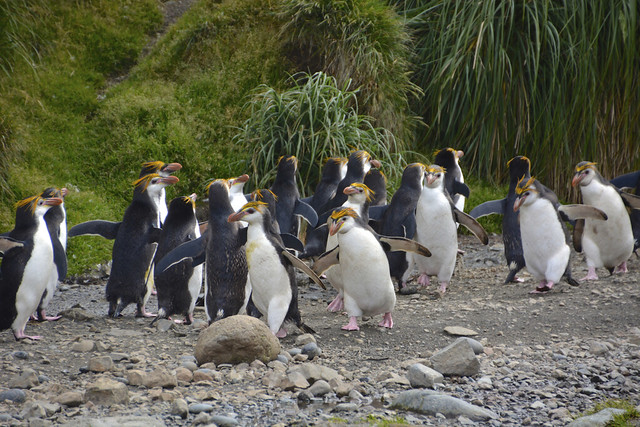 Royal penguins marching up and down the creek - Jan 2014