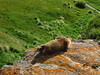 Marmot Head Smashed In Buffalo Jump