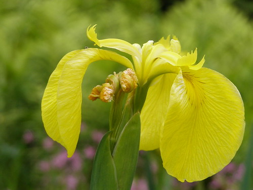 Yellow irises © Nigel Philpott