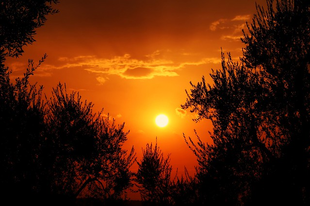 SUNSET BETWEEN THE OLIVE TREES