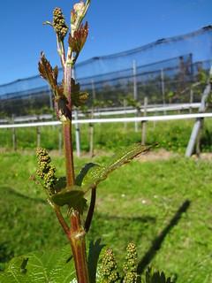 aufgehende Blüte (2)