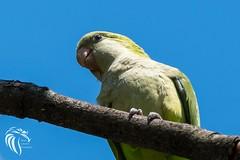 Wild Monk Parrots of Edgewater NJ - 8