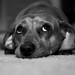 Daisy the Dacshund by rantor490