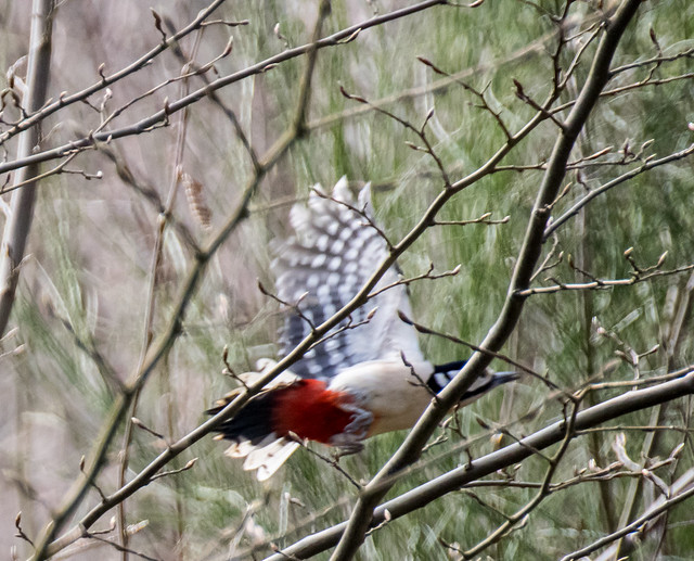 Greater spotted woodpecker in flight