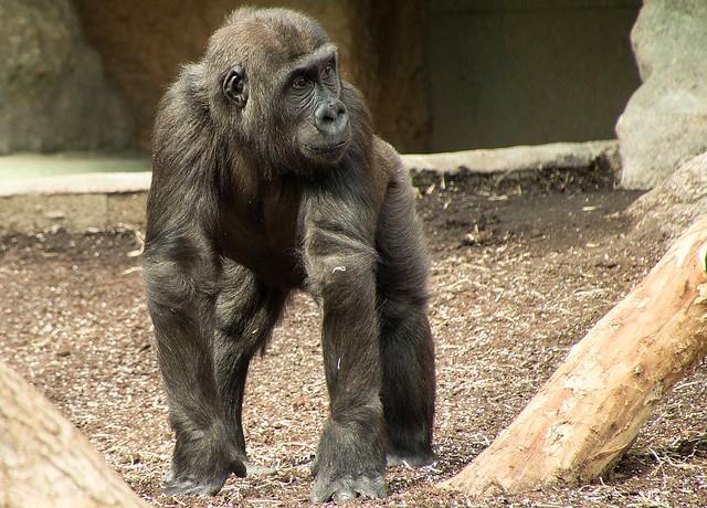 Gorillajunge Tano