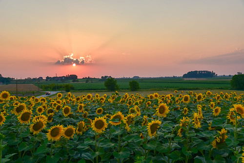 sunset clouds atmosphere sunflowers sunbeams slavonija