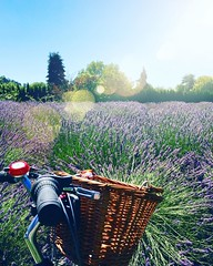 Riding through the lavender fields :purple_heart::ok_hand::honeybee: