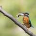 Martin pescatore con preda - Kingfisher with prey - Explored 8/18/16 by Attilio Piselli