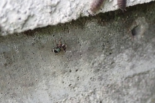 実家のクモ アオオビハエトリ