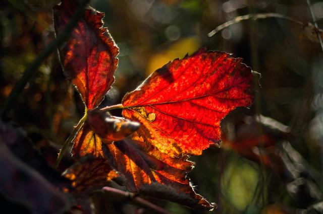 Light on a Red Leaf