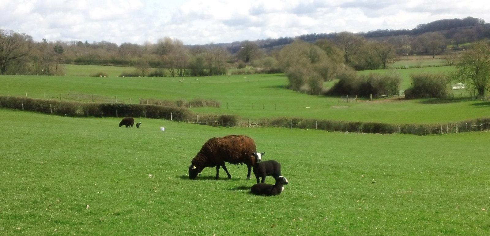 Ba ba black sheep.... ...have you any wool... near Fordcombe