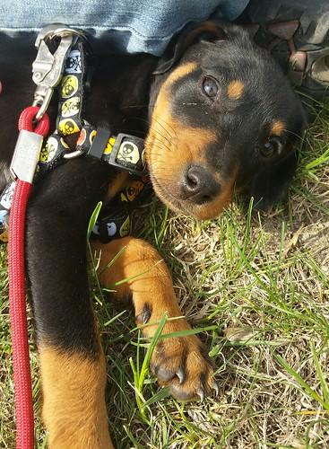 Penny's Arrival 5.9.15 #DobermanPuppy #DobeMix #RescuedDog #AdoptDontShop #LapdogCreations ©LapdogCreations