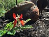 Autumn plantings: Sturt Desert Pea #Autumn #garden
