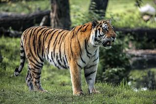 Tiger, Tiger.  Re mastered
