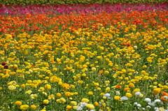 The Flower Fields, Carlsbad, CA