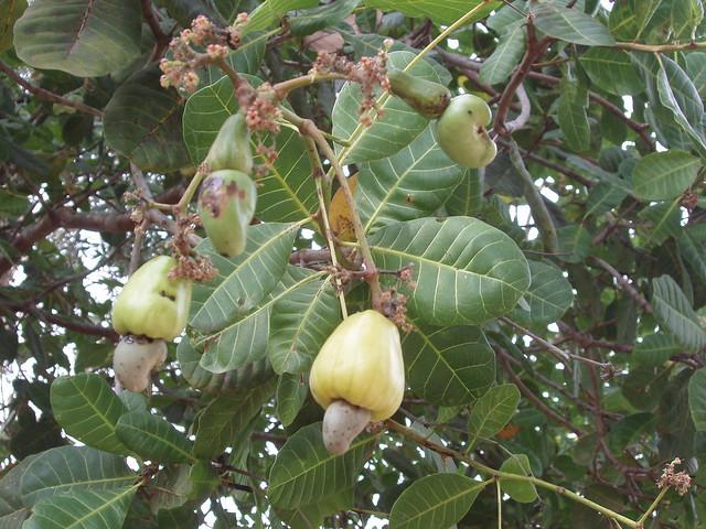 200902020095_cashew-tree