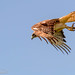 Guaraguao Colirrojo Nombre en inglés: Red-tailed Hawk Nombre científico: Buteo jamaicensis by zaidserrot