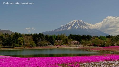 flower japan spring fuji blossom fujisan madhu madhumuraleedharan