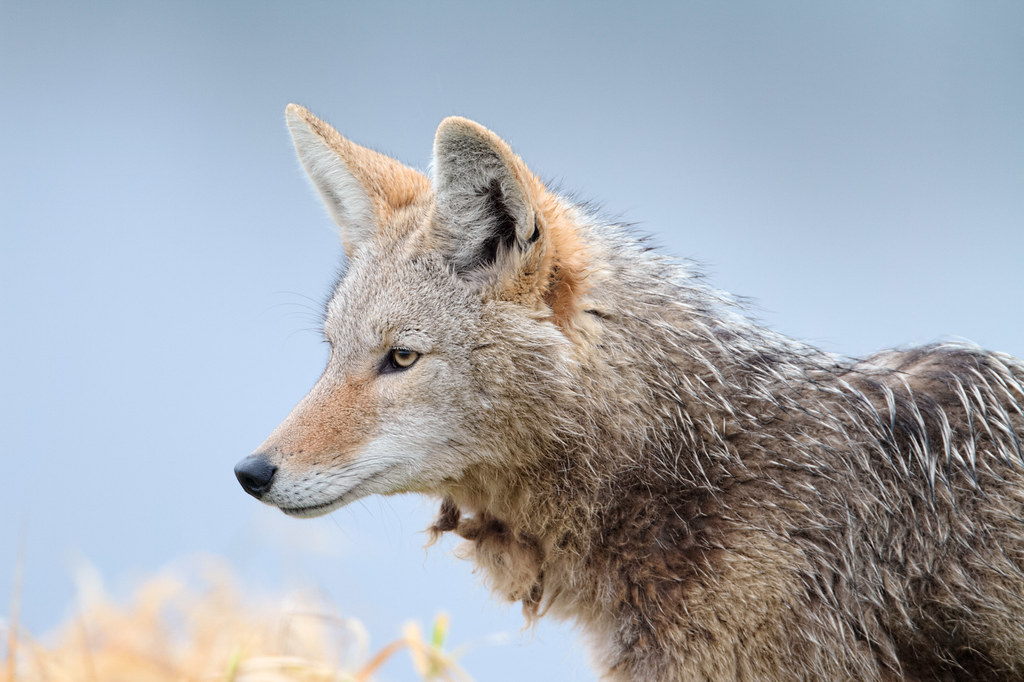 A coyote with matted fur under its neck