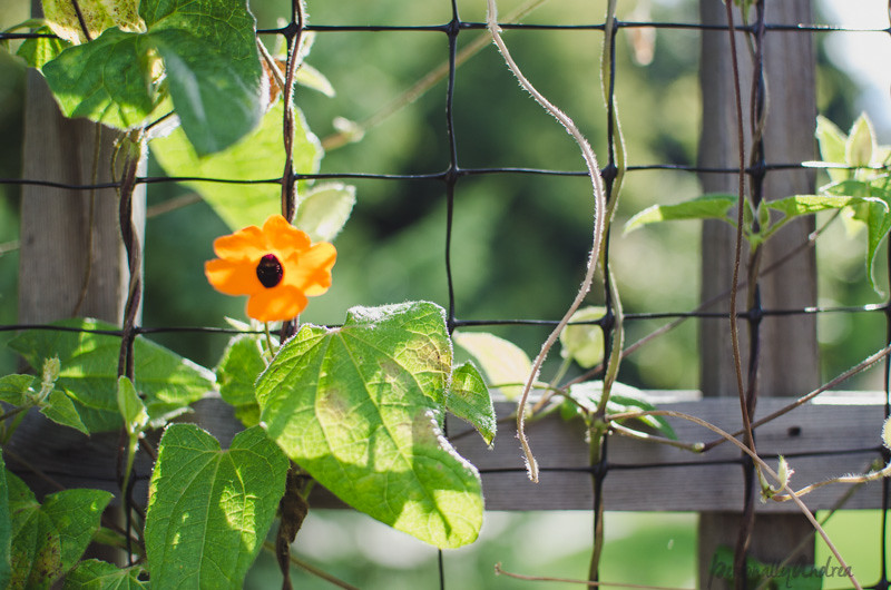 5 Ways to Photograph Flowers //  Contrasting Background // Vine on a Wire Trellis