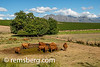 SOUTH AFRICA- Cows on farm with vineyard and mountains in background.