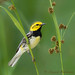 Black Throated Green Warbler by Len@play