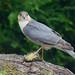 Sparrowhawk by PETEJLB