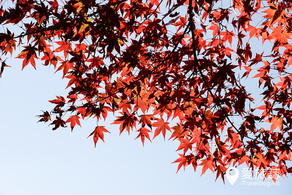 京都赏枫景点 高雄西明寺 15