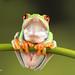 Red Eye Tree Frog D75_2680.jpg by Mobile Lynn