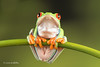Red Eye Tree Frog D75_2680.jpg