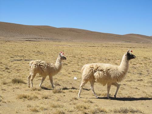 Le Sud Lipez: des lamas blancs