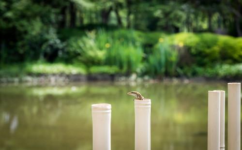 park fence garden japanese pond nikon texas houston lizard herman d750 2015 brandonprice