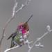 Anna's Hummingbird (Calypte anna) - La Jolla Cove by Jim Frazee