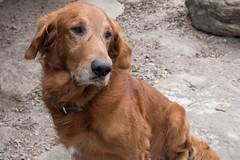 dog breed, animal, dog, pet, irish setter, golden retriever, carnivoran,