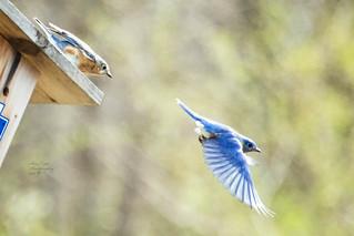 Blue Bird Pair