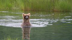 Niedźwiedź grizzli nagle wynurza się z wody.