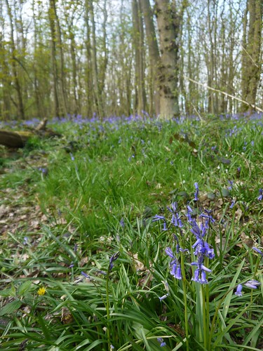Norwood Bluebells