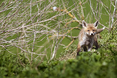 Rotfuchs - Vulpes vulpes - red fox