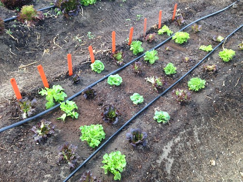 Succession planting for salanova lettuces