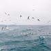 Kittiwakes and sea gulls